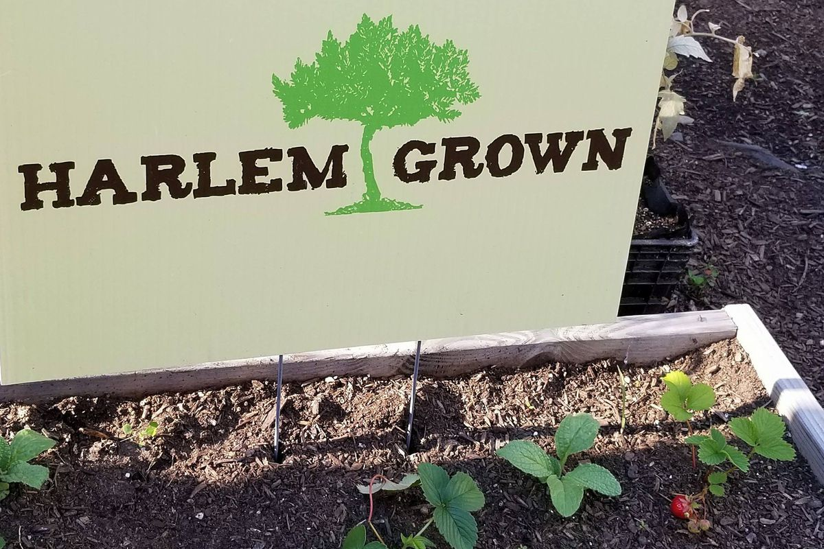 """A sign reading """"Harlem Grown"""" placed above a garden bed growing strawberries."""