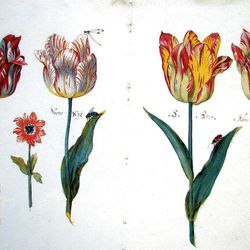 Print of Rembrandt-type stripd tulips