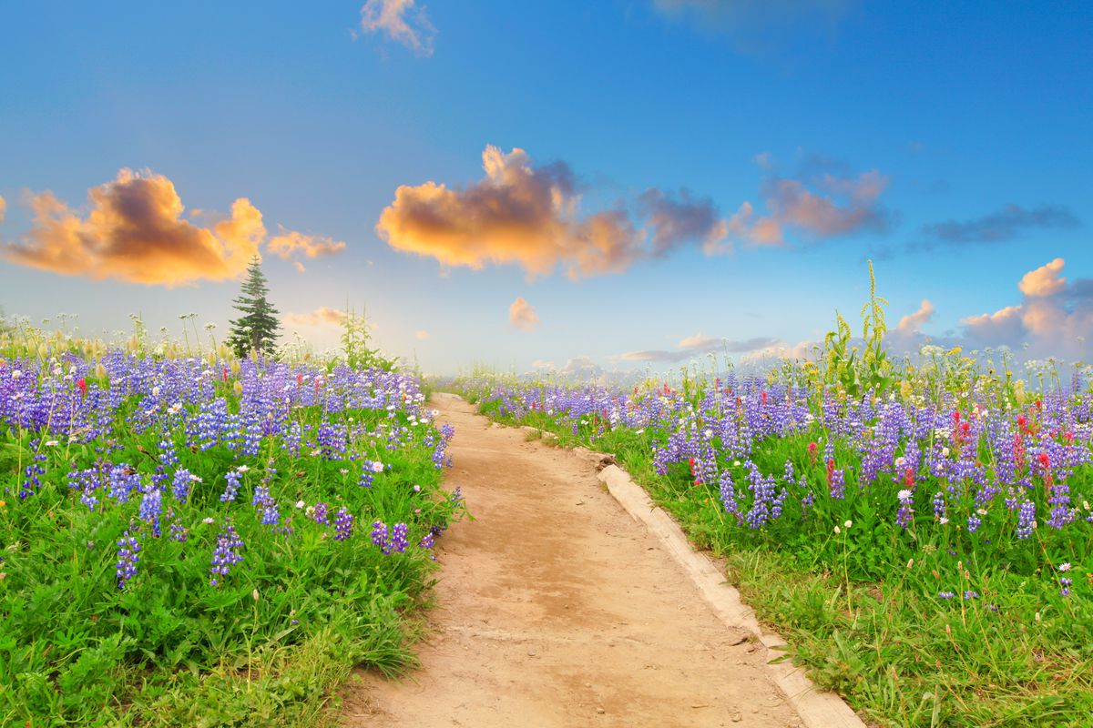 A path at Naches Peak Loop. The path is lined with many colorful wildflowers.