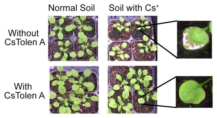 cesium plant