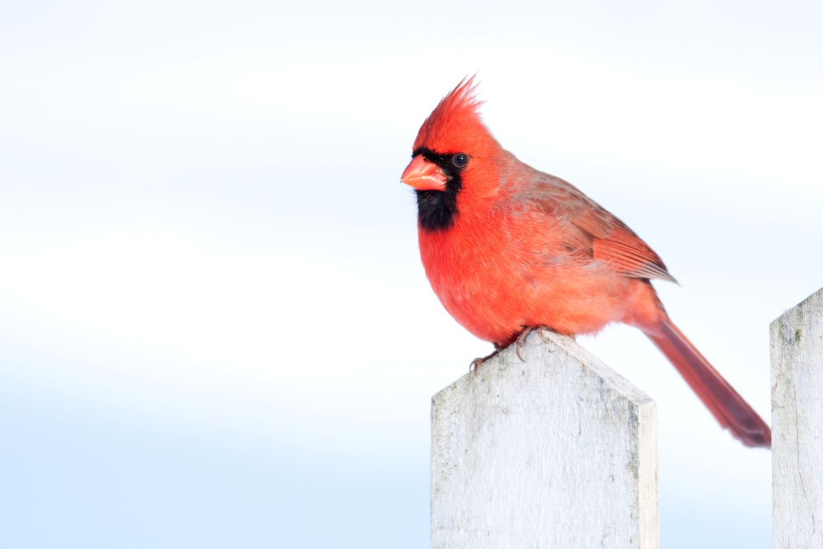 Cardinals are one of the hundreds of species of birds that can be found in the winter.