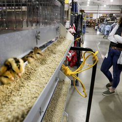Katy Cox buys some chicks at the IFA Country Stores in Riverton on Thursday, March 26, 2020. The agricultural sector is seeing a run on supplies including chicken feed, horse feed, dog food and a higher interest for chicks.