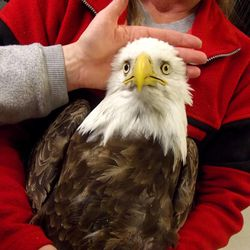 This undated image provided by the Wildlife Rehabilitation Center of Northern Utah shows one of five bald eagles that was brought into the center, but eventually died. They each had similar symptoms: body tremors and paralysis. Five bald eagles have died in northern Utah in the past two weeks, raising alarms among state wildlife officials.