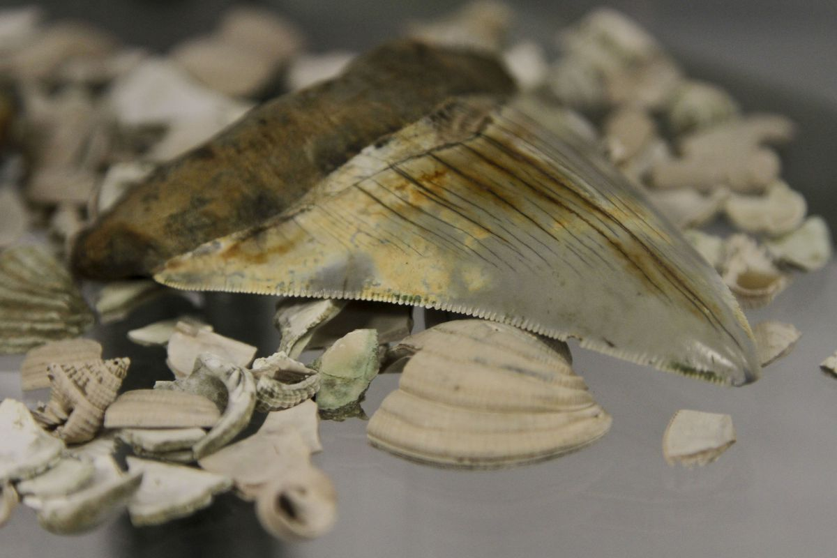 A tooth of an extinct giant shark called 'Carcharodon megalodon' found by paleontologists during a project to recover fossils during the Panama Canal expansion, is displayed after a news conference in Panama City, Friday, April 26, 2013.