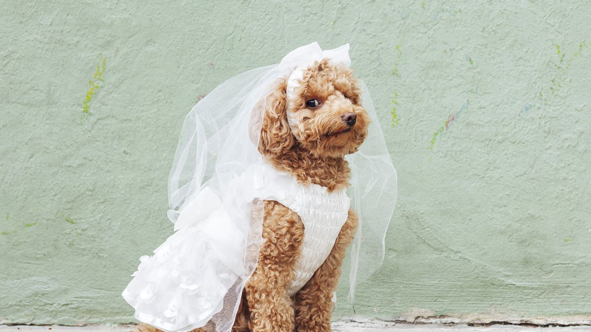 These tiny dogs are getting married and everyones invited these tiny dogs are getting married and everyones invited ombrellifo Choice Image