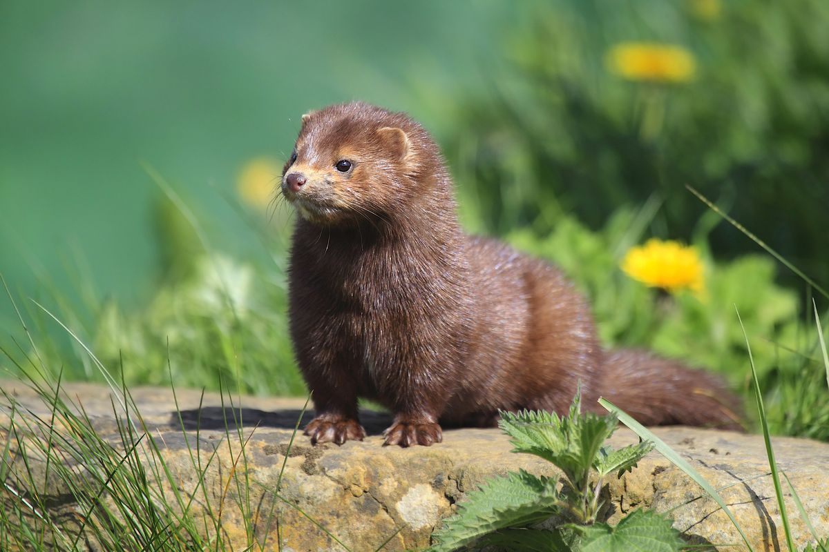 A mink in a natural habitat, very different from a fur farm.