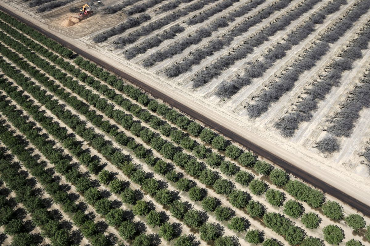 A field of dead almond trees next to a field of growing almond trees in the Central Valley.