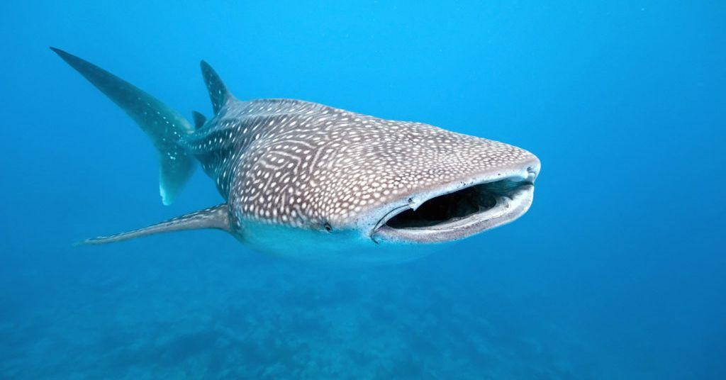 Bigstock_whale_shark_12121163_1024x683