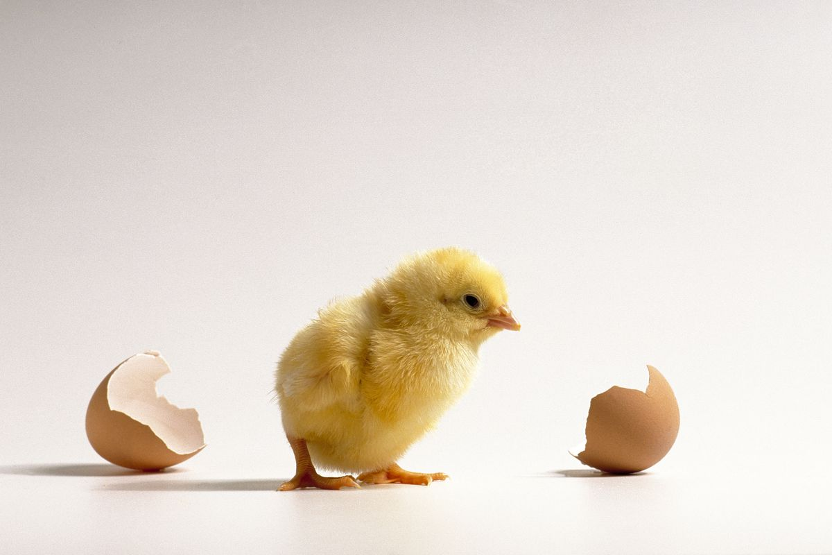 ef1ad6a40de This newly born chick had better hope it's not male, because if it is the  future is not looking good! Peter Cross/Getty Images