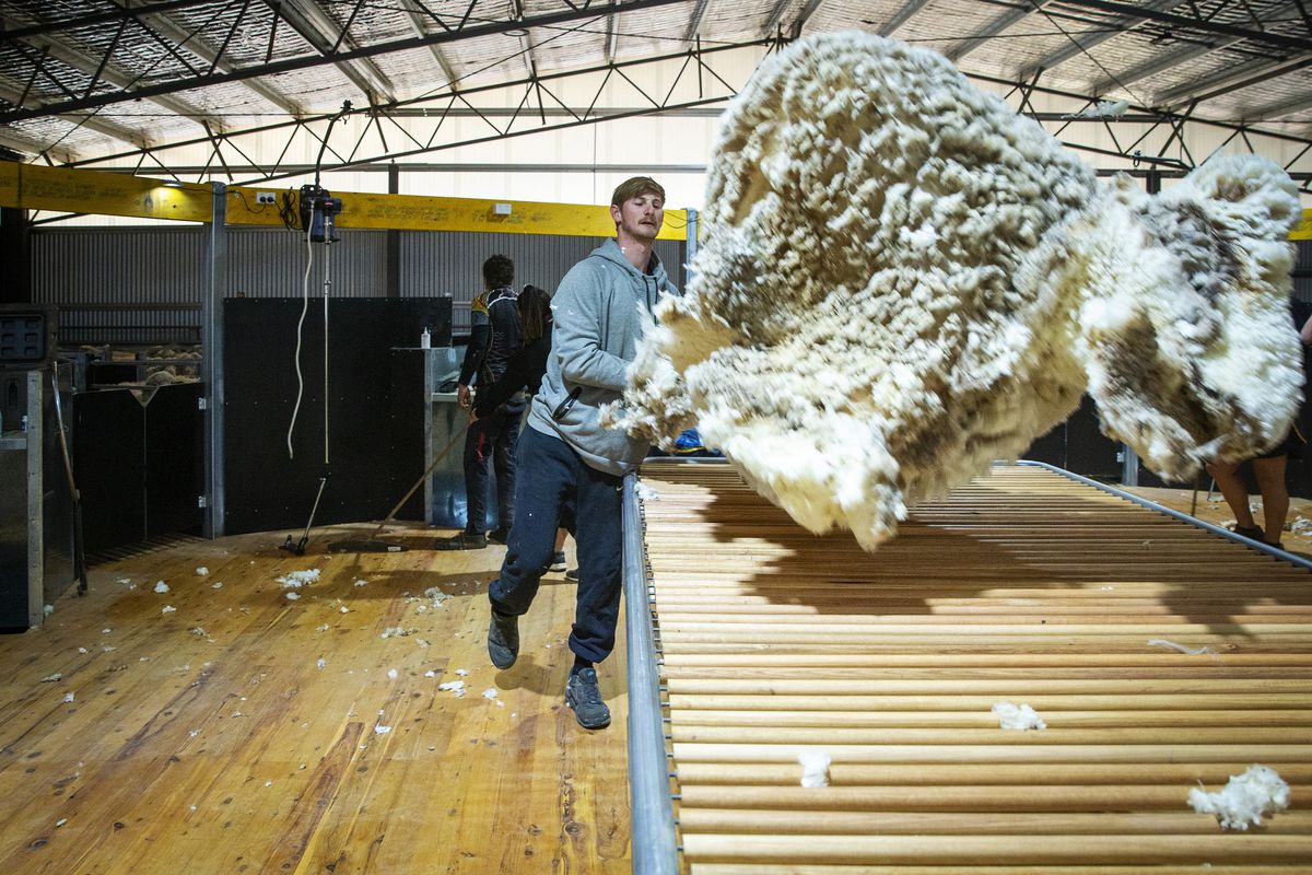 Sheep Shearing Continues In Australia With COVID-19 Safety Precautions In Place