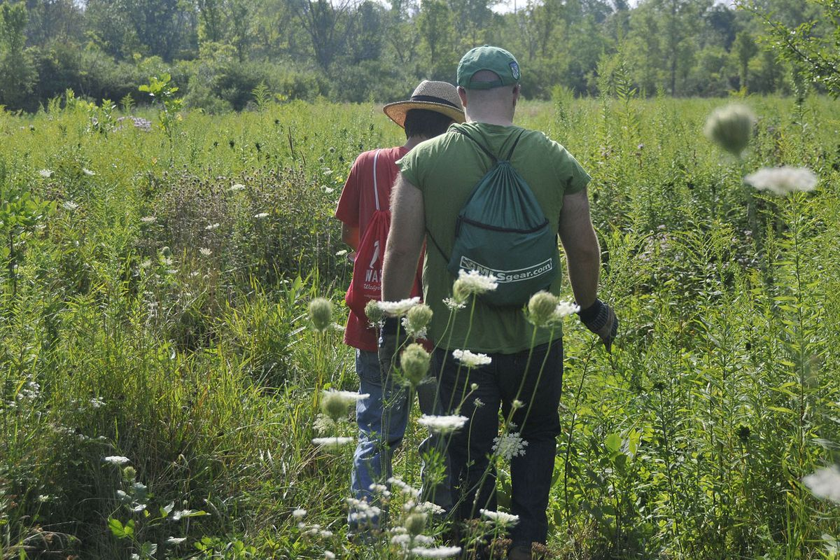 Volunteers clear invasive species through a Cook County Forest Preserve initiative in this 2014 file photo.