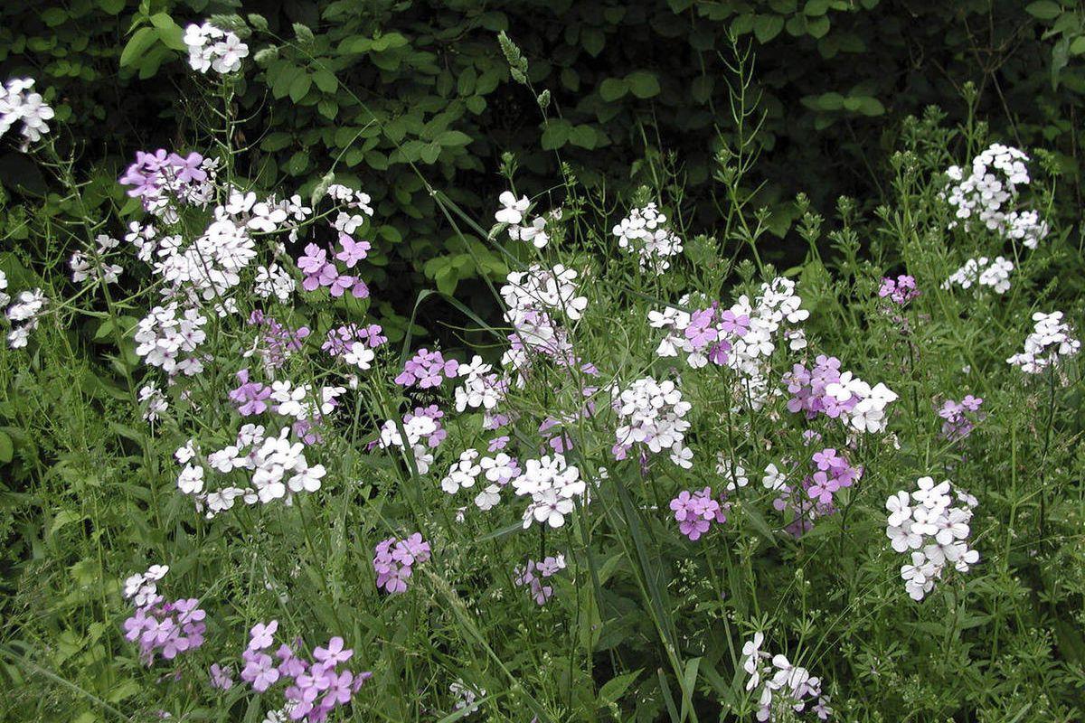 Dame's rocket rocks, in a garden or in the wild - Deseret News
