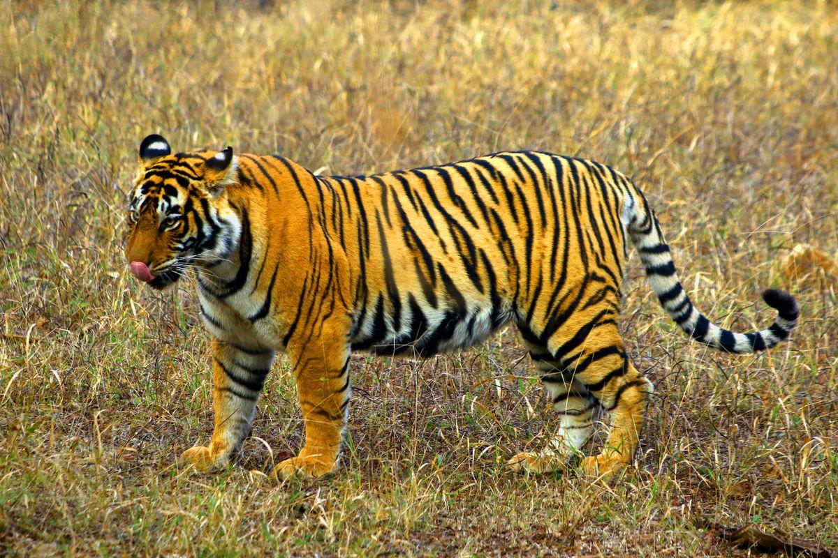 Tigress At The Ranthambore National Park In Rajasthan