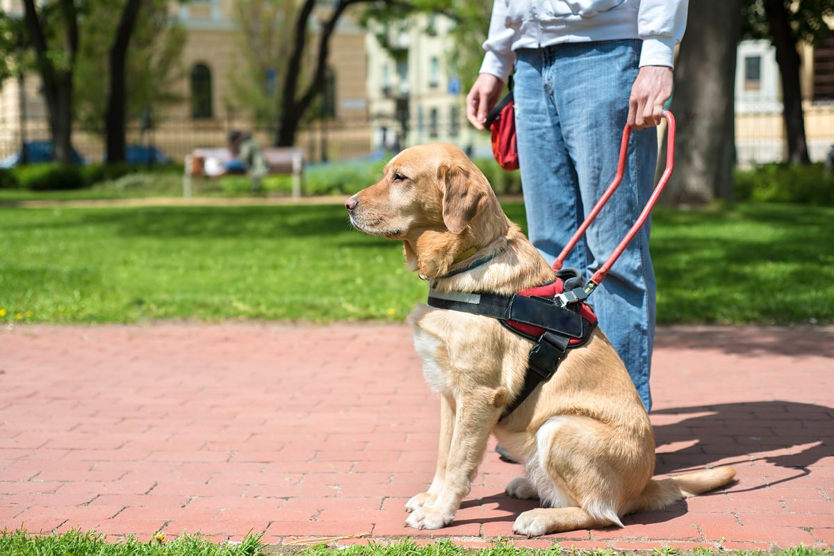 A guide dog with its handler.
