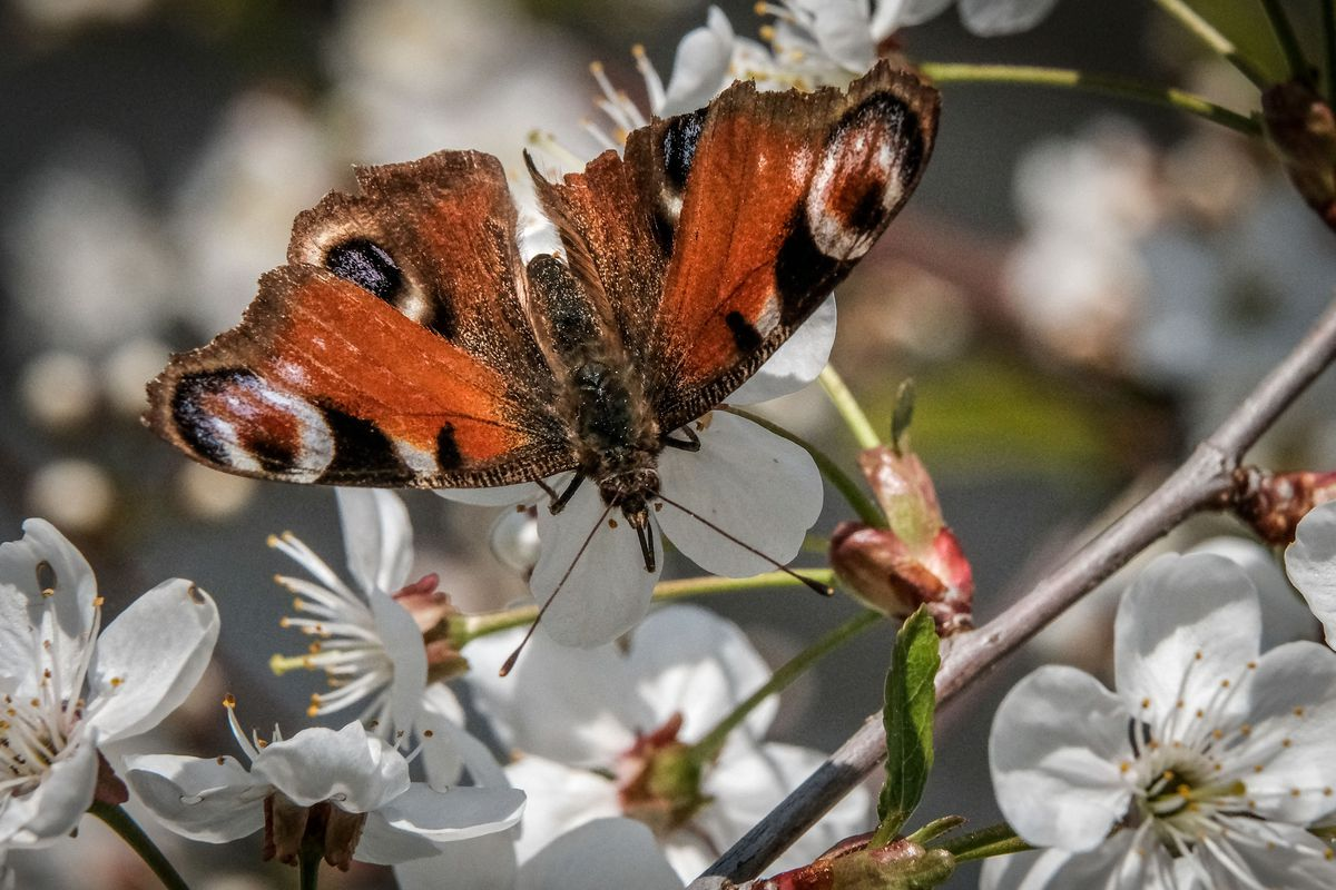 RUSSIA-ENVIRONMENT-NATURE-BUTTERFLY