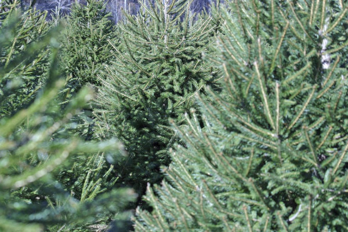 Christmas Tree Pick Up.Recycling District To Pick Up Christmas Trees During January