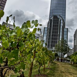The pop-up vineyard at 14th Street.