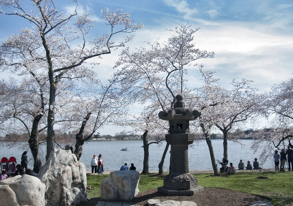 Cherry blossoms at the Japanese Lanter