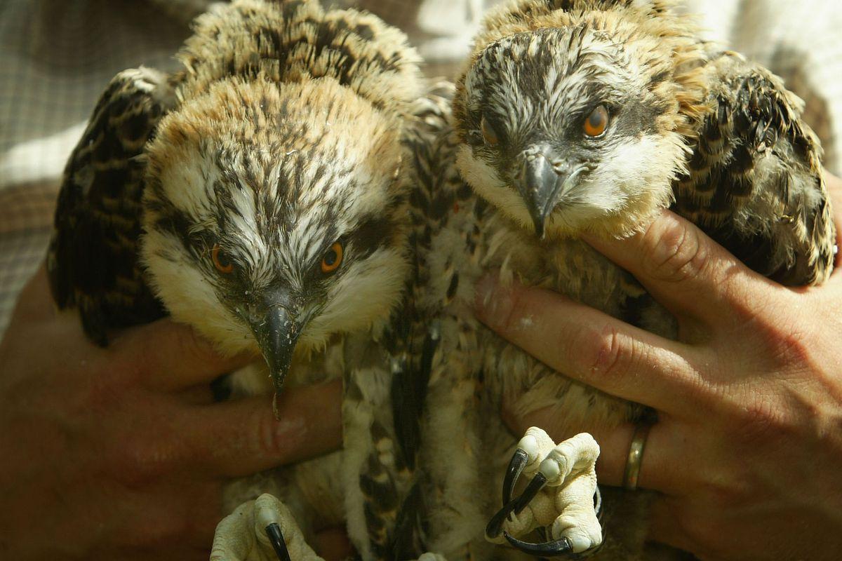 Ospreys Chicks Hatch In Scotland