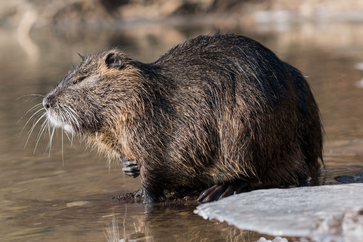 Nutria__Myocastor_coypus__in_a_partially