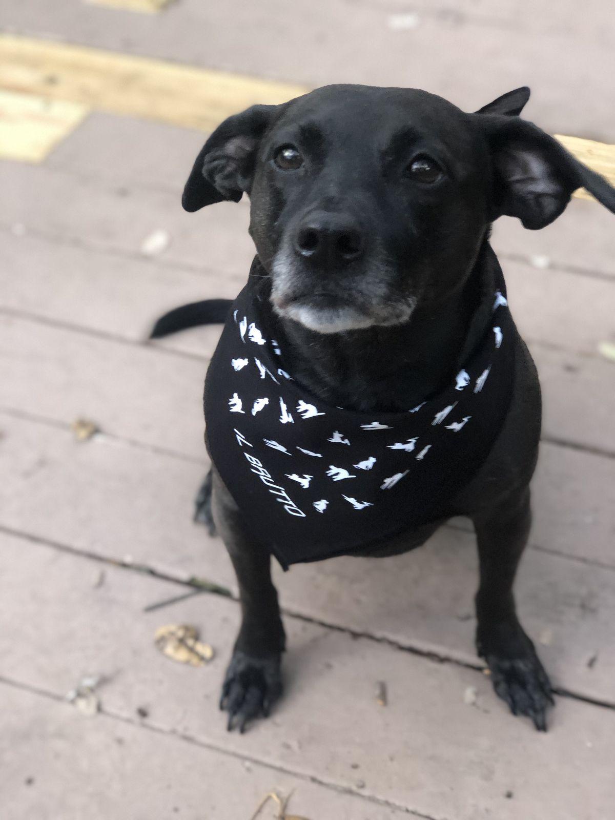 A puppy wearing an Il Brutto bandana