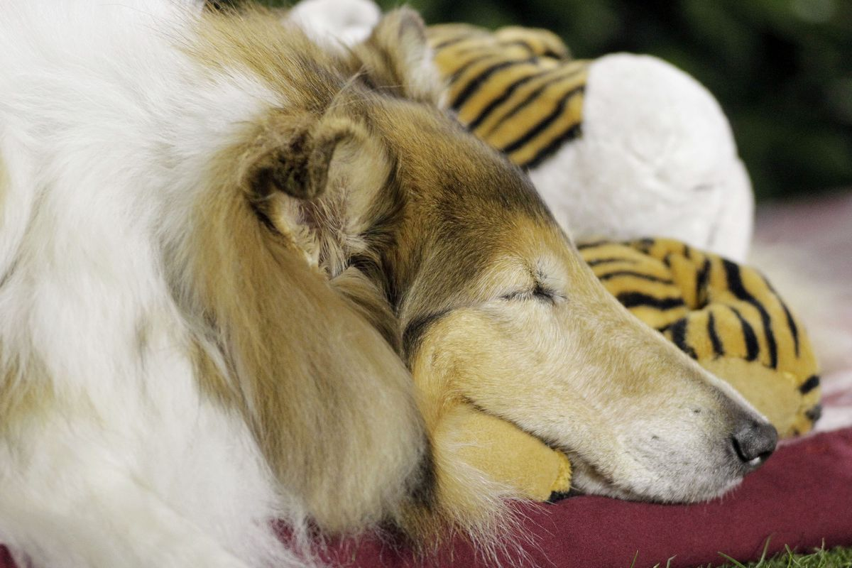 What does Reveille dream of when she takes a little puppy snooze?