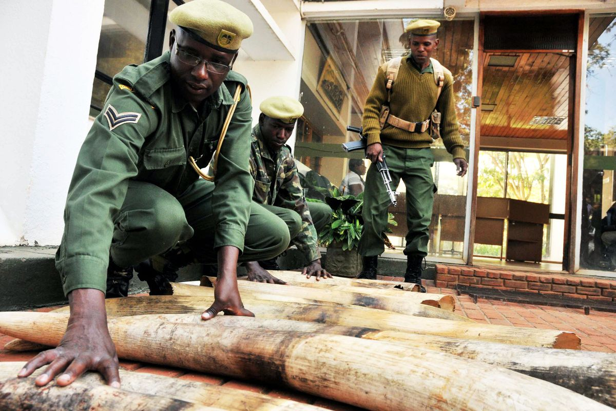Kenya Wildlife Services rangers move confiscated ivory in Nairobi.