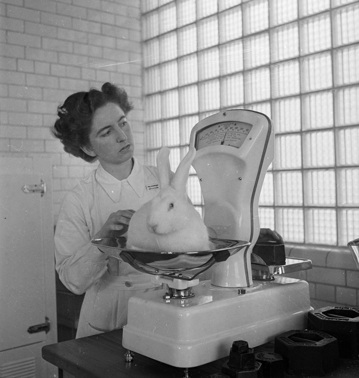Bunny being weighed
