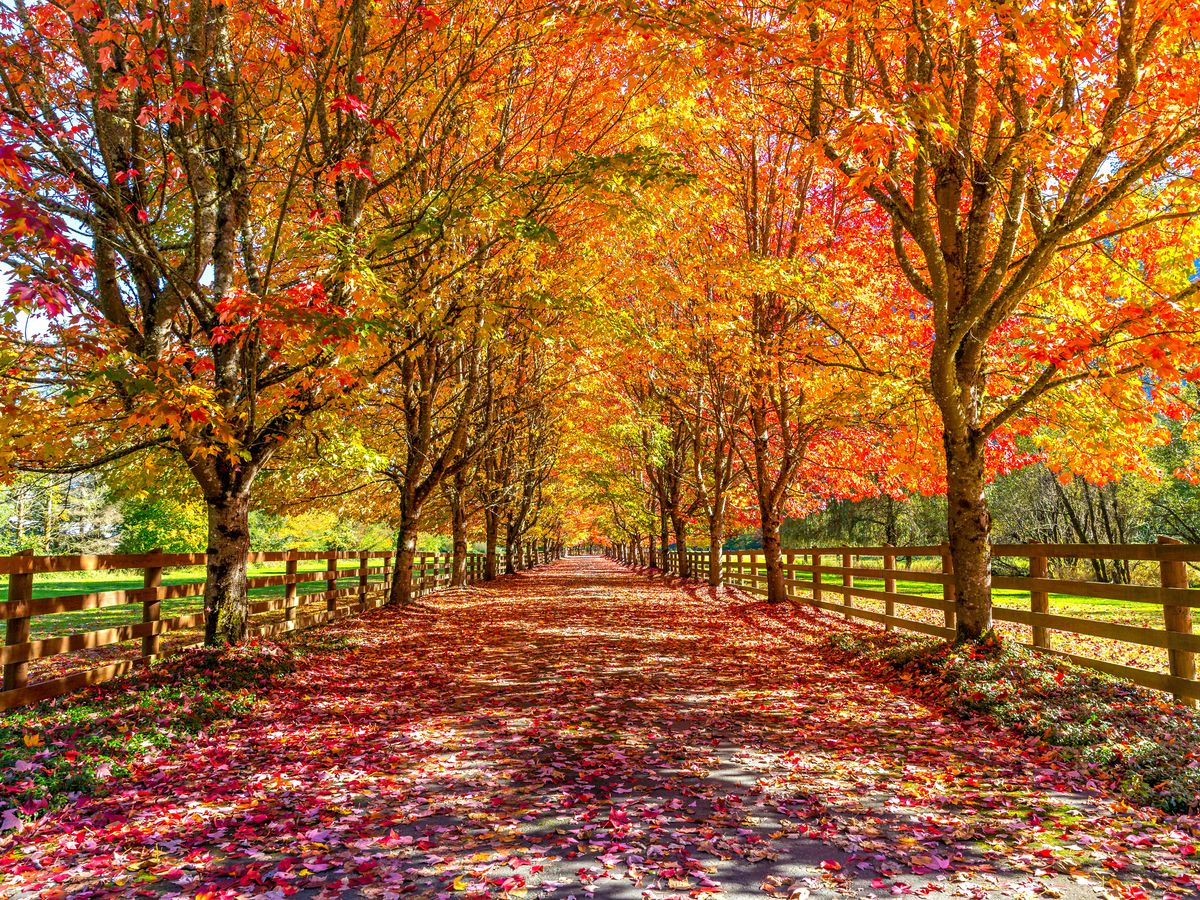 A wide, paved path covered in colorful autumn leaves, lined with rows of trees and a wooden railing on either side.