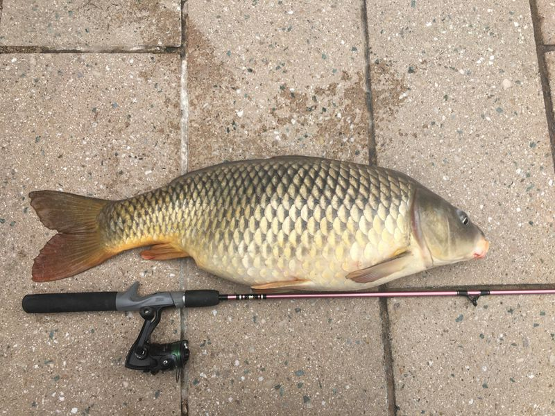 Nice Chicago River carp. Provided by Jeffrey Williams