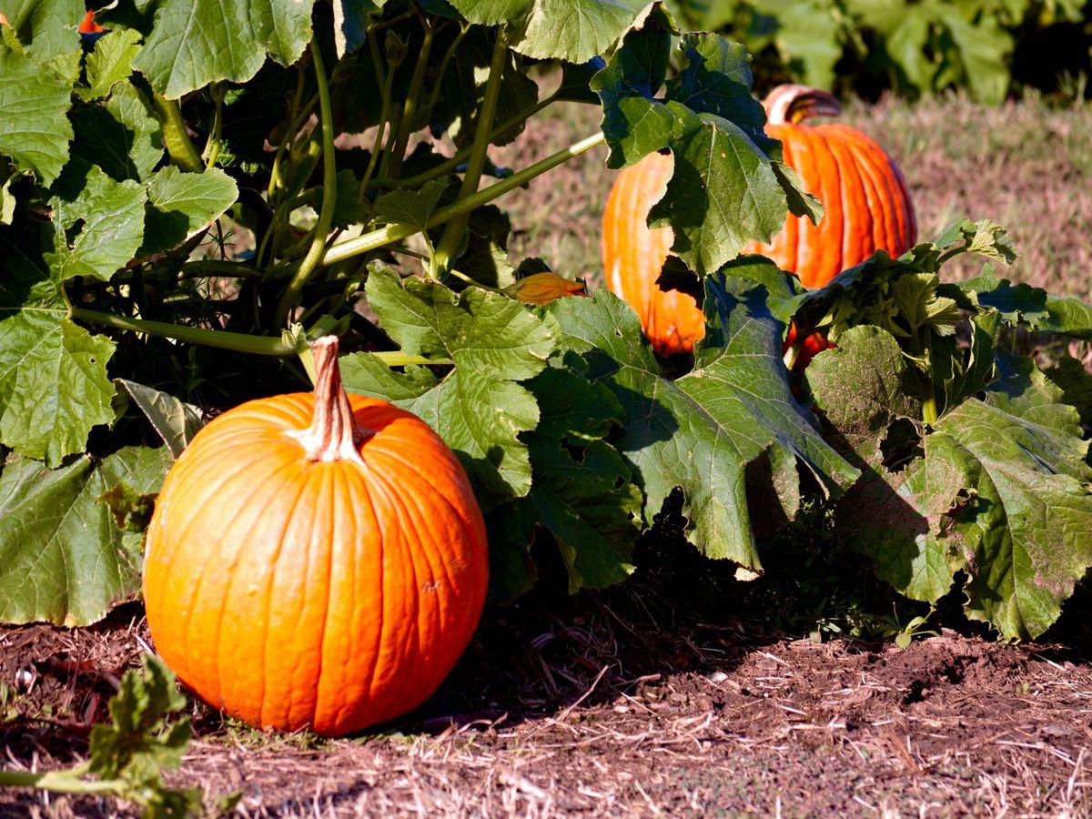 Image result for pumpkin patch image