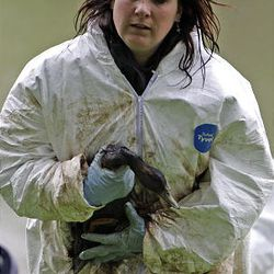 Stephanie Napp, of Hogle Zoo, clutches an oil-soaked duck at Liberty Park after a Chevron pipeline broke and leaked oil into the pond Saturday. The birds were taken to Hogle Zoo to be cleaned.
