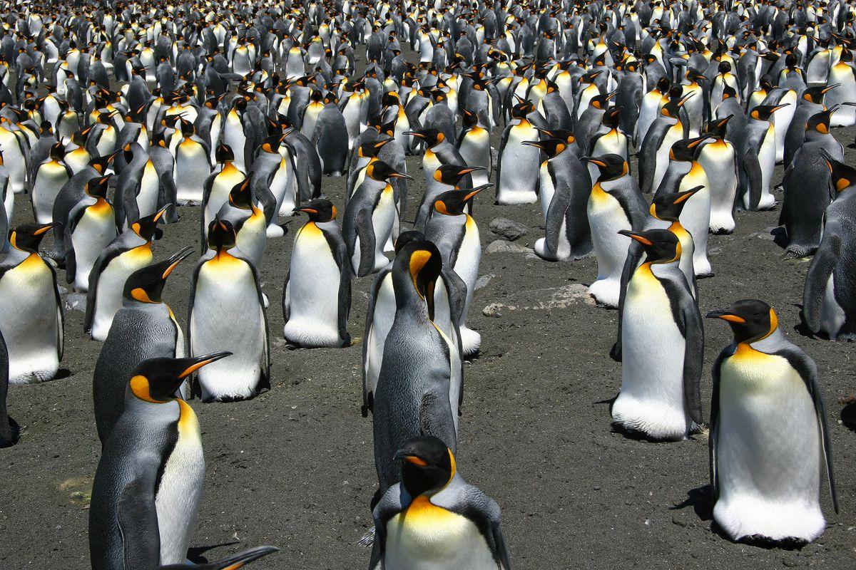 King_penguins2.0.jpg