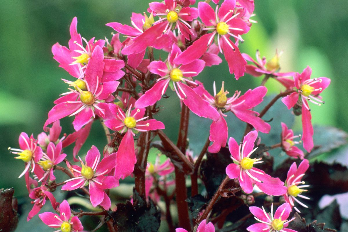 Saxifrage fortunei