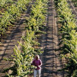Corison walking her Kronos Vineyard. [Source: Corison Winery]