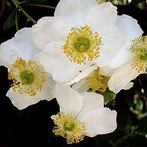 <p>Bush anemone, a shrub of California grasslands, chaparral, and woodlands</p>