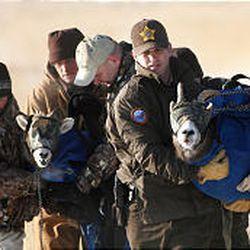 Bighorn sheep: DWR begins relocation program - Deseret News