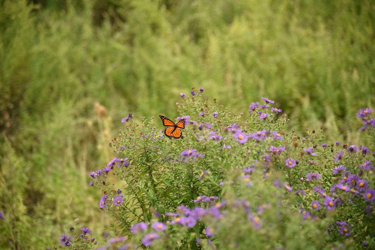 A butterfly lands on purple flowers in a meadow.