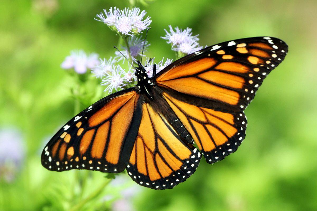 Monarch butterfly on Blue Mistflower in Texas on October 21, 2013.