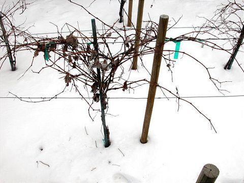 Careful Grape Pruning Brings Sweet Rewards Deseret News