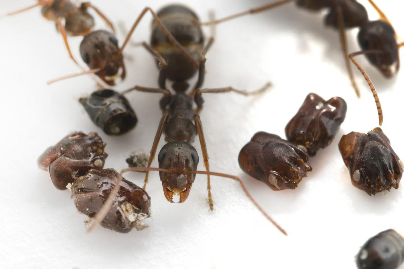 high speed video solves how florida ants furnish their nests with their enemies bodies