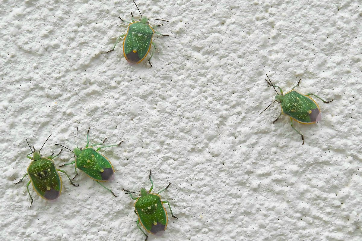 Utah residents report hundreds of stink bugs at gas station
