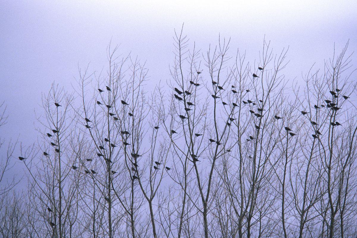 Flock of blackbirds roosting in barren trees near the Platt River Agelaius species Near Kearney, Nebraska, USA