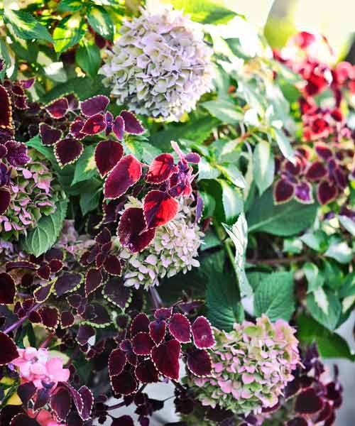 'Garnet Robe' Coleus And 'Endless Summer' Hydrangea