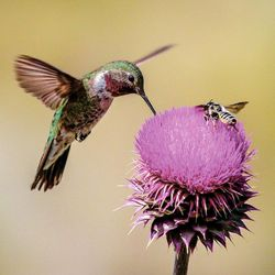 The broad-tailed hummingbird, seen here in Diamond Fork Canyon, is the most common of the six species of hummingbirds found in Utah. The average hummingbird weighs about the same as a U.S. nickel.
