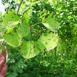 Aspen leaf spot is caused by a fungus. Water on the leaves causes the fungus to spread.