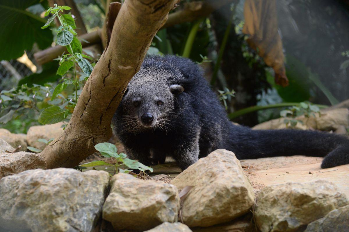 A Binturong, also called a bearcat