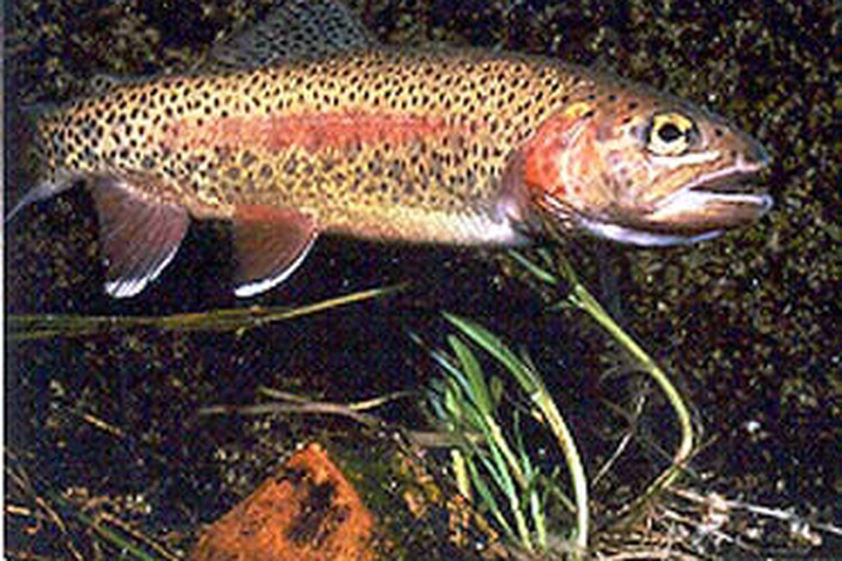 File photo of rainbow trout. Credit: Illinois Department of Natural Resources