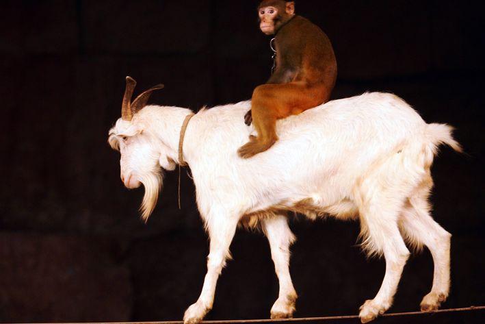 Monkey Riding a Goat