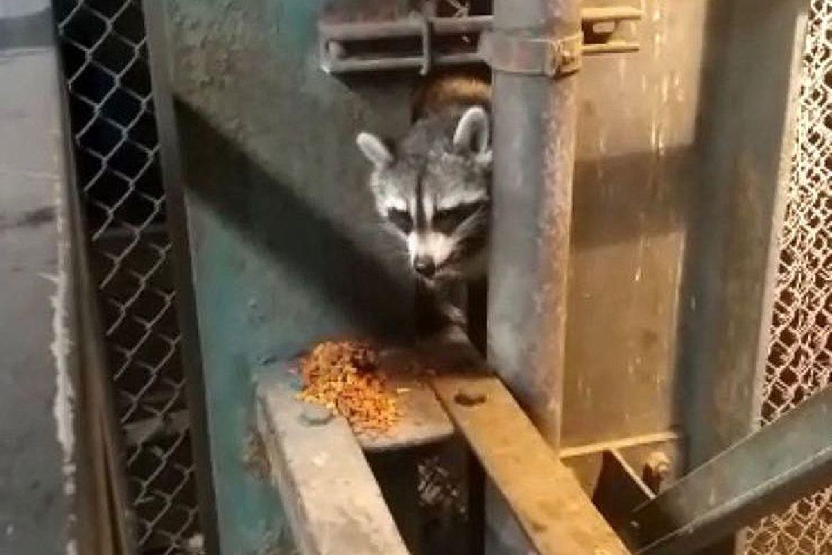 Raccoon at L train station